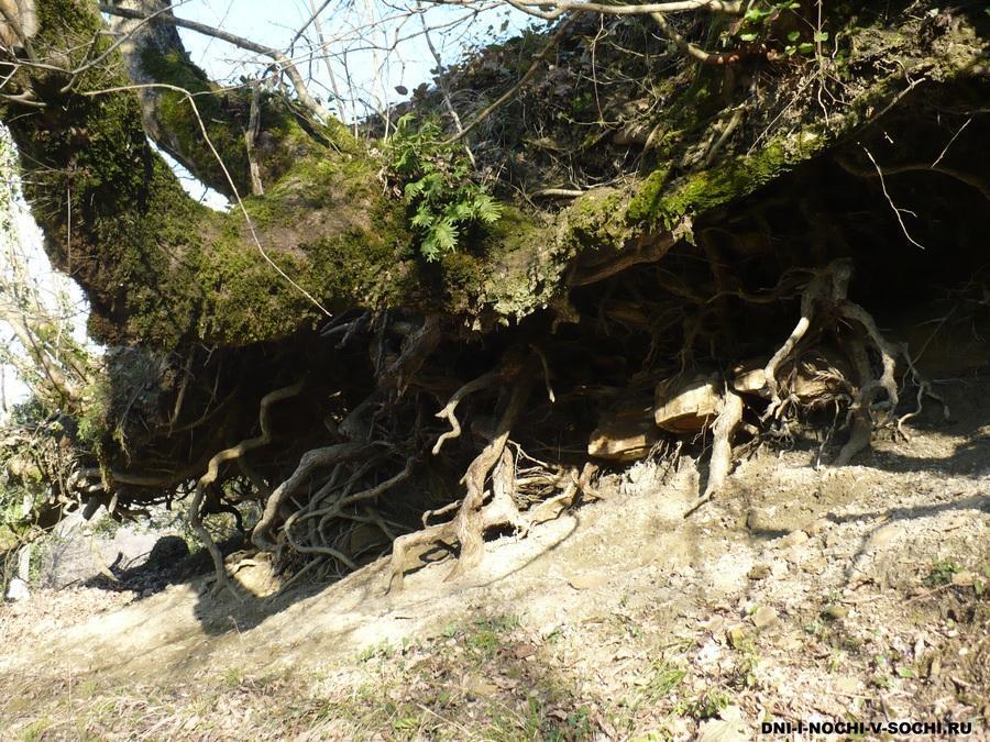 корни деревьев