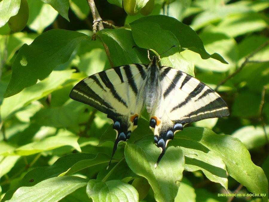 бабочка - парусник