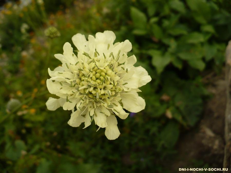 цветы альпийских лугов Красная поляна