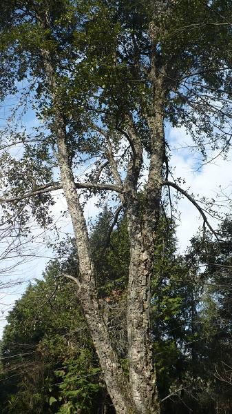 пробковый дуб на горе Овсянникова