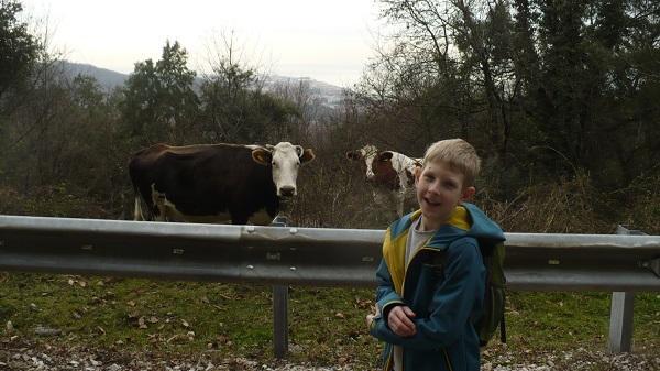 коровы МУ