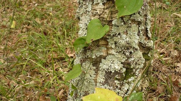 кора пробкового дуба
