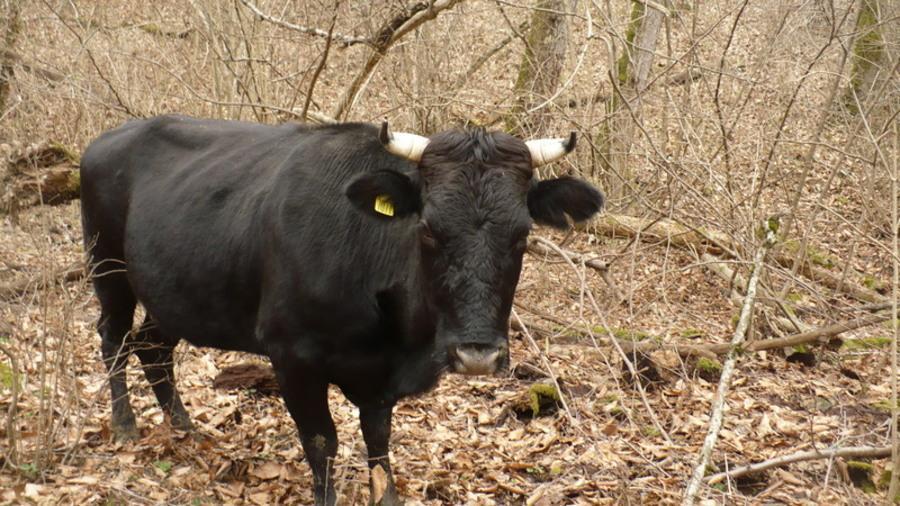 корова МУ