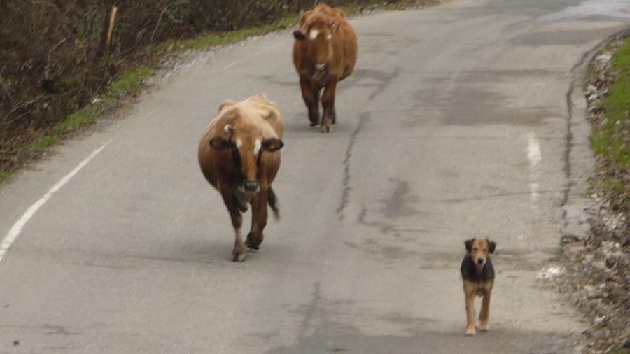 пёс - пастух
