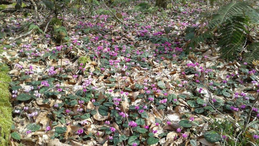первоцветы сочинских лесов