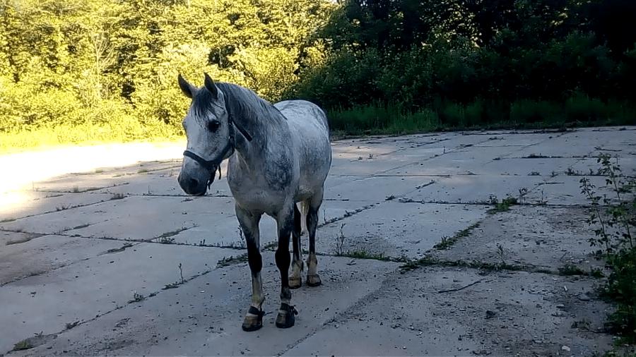 кони в яблоках, кони серые