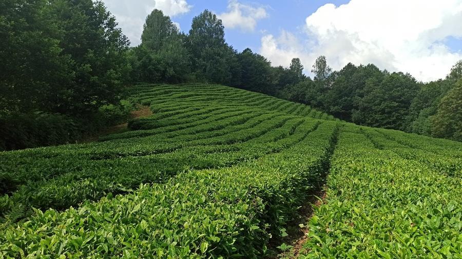 чайные плантации в Солохауле