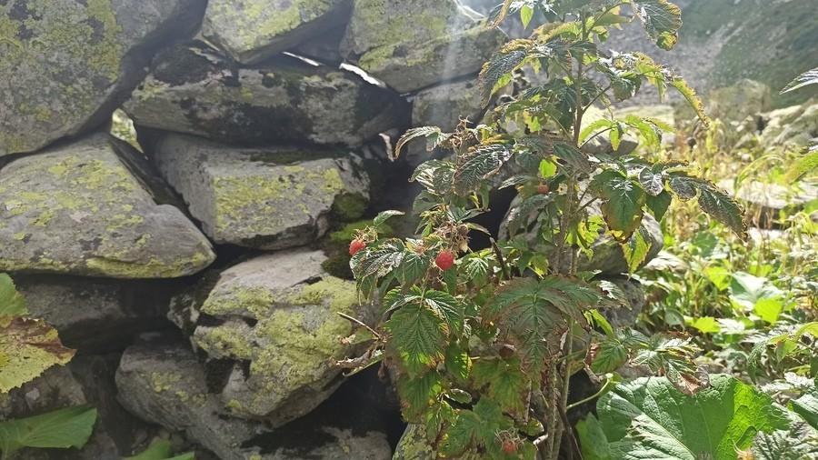 Лесная малинка у ацангуара на Ачишхо